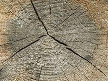 corte transversal del tronco de árbol viejo Fotos de archivo libres de regalías