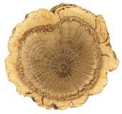 Corte transversal: tronco de árbol de corcho con el anillo grueso, irregular de la corteza del corcho fotografía de archivo libre de regalías