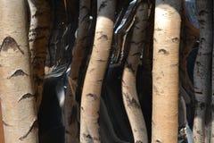Corte troncos do vidoeiro e os espelhos para criar a ilusão ótica de um corredor, de que não existem fotos de stock royalty free
