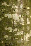 Corteccia 02 del faggio Fotografia Stock