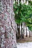 Corteccia alta vicina del pino dell'abetaia con dof basso Fotografie Stock Libere da Diritti