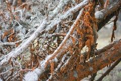 Corteccia bianca con muschio arancio fotografia stock