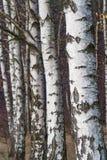 Corteccia bianca sugli alberi nella foresta della betulla Fotografia Stock