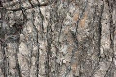 Corteccia bruciacchiata del pino dopo fuoco nella struttura del fondo della foresta Fotografia Stock Libera da Diritti