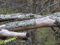 Corteccia caduta della sbucciatura dell'albero nella foresta di caduta Immagini Stock Libere da Diritti