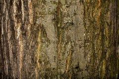 Corteccia colorata di grande albero con il lichene 5 Immagine Stock Libera da Diritti