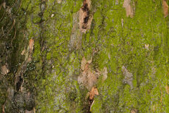 Corteccia colorata di grande albero con il lichene 2 Immagini Stock Libere da Diritti