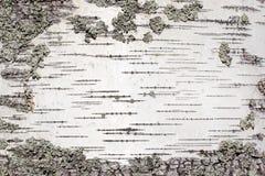 Corteccia d'argento Fotografia Stock