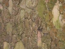 Corteccia da un vecchio albero della foglia Fotografia Stock