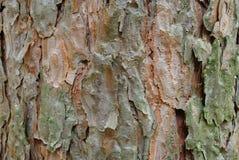 Corteccia del pino Immagine Stock