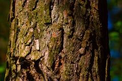 Corteccia del pino Immagini Stock Libere da Diritti