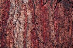 Corteccia del pino Immagine Stock Libera da Diritti
