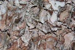 Corteccia del pino Fotografia Stock