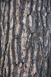Corteccia del pino bianco Fotografia Stock Libera da Diritti