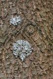 Corteccia del pino come fondo Immagini Stock