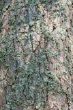 Corteccia del pino con muschio Fotografia Stock