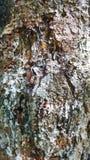 Corteccia del pino coperta resina Immagini Stock