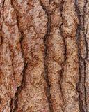 Corteccia del pino di Ponderosa Fotografie Stock