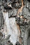 Corteccia del pino Corteccia del pino di struttura Fondo della corteccia del pino pino Albero b Fotografia Stock Libera da Diritti