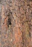 Corteccia del pino grande Fotografia Stock
