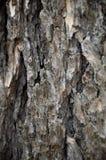Corteccia del pino in primavera Fotografia Stock