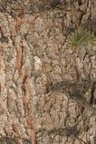 Corteccia del pino rosso Fotografia Stock Libera da Diritti