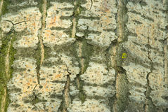 Corteccia del pioppo bianco Immagini Stock Libere da Diritti