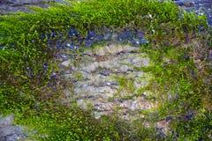 Corteccia del primo piano dei pini con MUSCHIO ed il lichene Immagini Stock