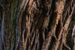 Corteccia del primo piano della quercia Fotografie Stock Libere da Diritti