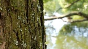 Corteccia del ` s dell'albero con muschio Fotografia Stock Libera da Diritti