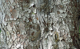 Corteccia del tronco di Fern Pine in legno di Laguna, California Fotografie Stock