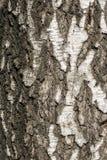 Corteccia del tronco di vecchia betulla Immagini Stock