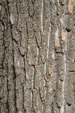 Corteccia del tronco del pioppo Fotografia Stock