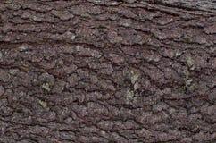 Corteccia dell'abete con le fessure verticali Sfondo naturale fotografia stock libera da diritti