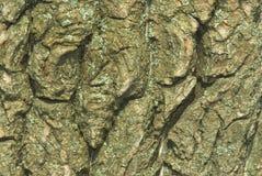 Corteccia dell'acacia Fotografie Stock
