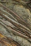 Corteccia dell'albero di banyan Fotografie Stock Libere da Diritti