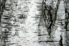 Corteccia dell'albero di betulla Fotografie Stock Libere da Diritti