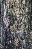 Corteccia dell'albero tropicale Fotografia Stock