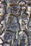Corteccia dell'araucaria Fotografia Stock