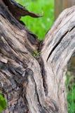 Corteccia dell'uva Fotografia Stock Libera da Diritti