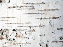 Corteccia della betulla Fotografie Stock Libere da Diritti