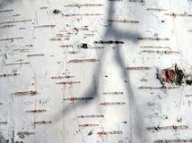 Corteccia della betulla 2 Fotografia Stock Libera da Diritti