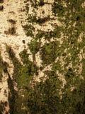 Corteccia della betulla Immagine Stock