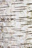 Corteccia della betulla Fotografia Stock
