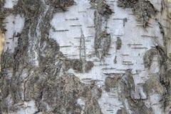 Corteccia della betulla d'argento Fotografie Stock