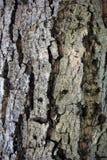 Corteccia della noce Fotografia Stock