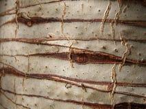 Corteccia della palma Fotografie Stock