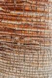 Corteccia della palma Fotografia Stock