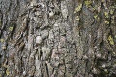 Corteccia della quercia Fotografie Stock Libere da Diritti