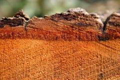Corteccia della quercia Fotografia Stock